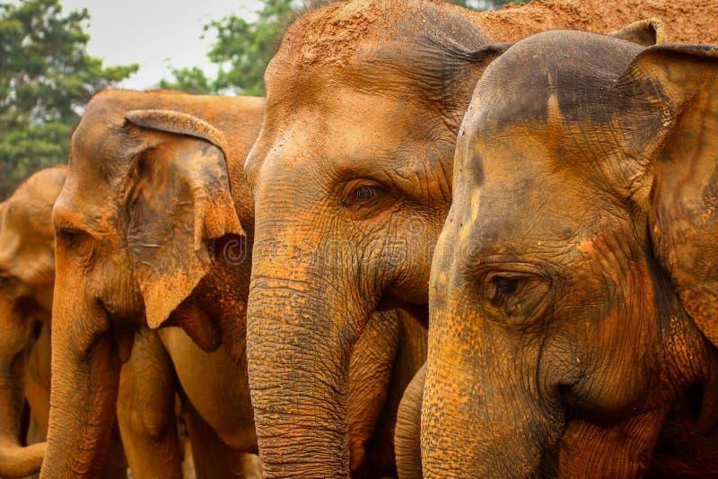 De Olifanten van Lankan van Sri stock fotografie