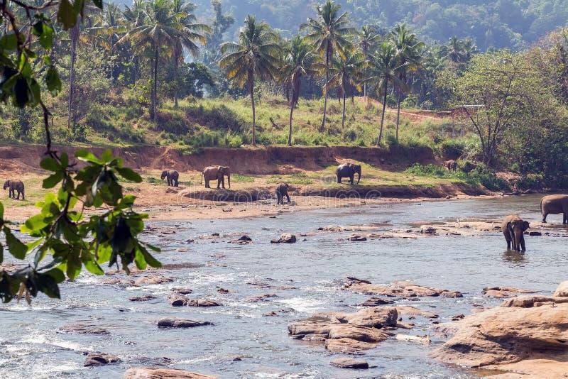 De Olifantsbad van familieazië in rivier Ceylon, Pinnawala royalty-vrije stock foto's
