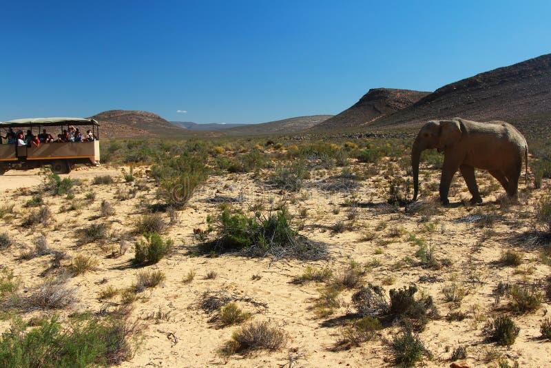 De olifantssafari in Kaapstad, Zuid-Afrika stock afbeelding