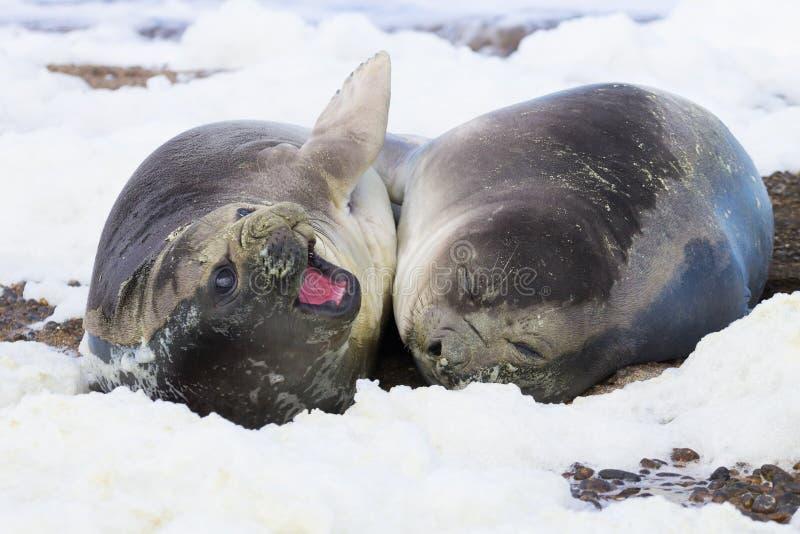 De olifantsverbindingen op strand sluiten omhoog, Patagoni?, Argentini? royalty-vrije stock afbeelding