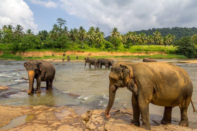 De olifantsweeshuis van Pinnawala stock afbeeldingen