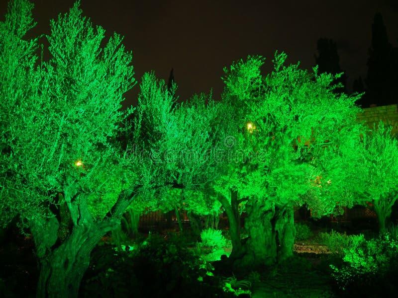 De olijfbomen in de Tuin van Gethsemane op Heilige Donderdag royalty-vrije stock foto