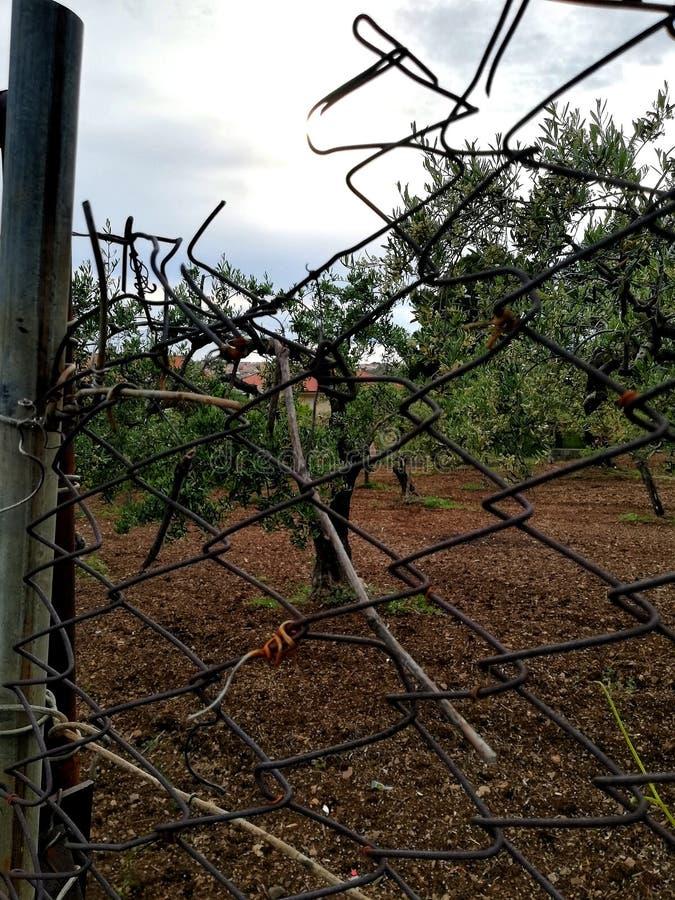 De olijfgaard tussen het draadnetwerk stock afbeeldingen