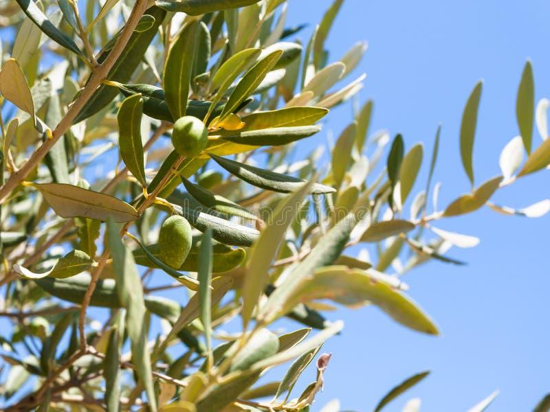 De olijven op olijfboom sluiten omhoog in Sicilië royalty-vrije stock afbeelding