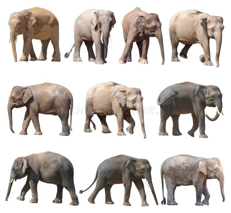 De olika ställingarna av den asiatiska elefanten på vit bakgrund, toppen serie royaltyfri fotografi