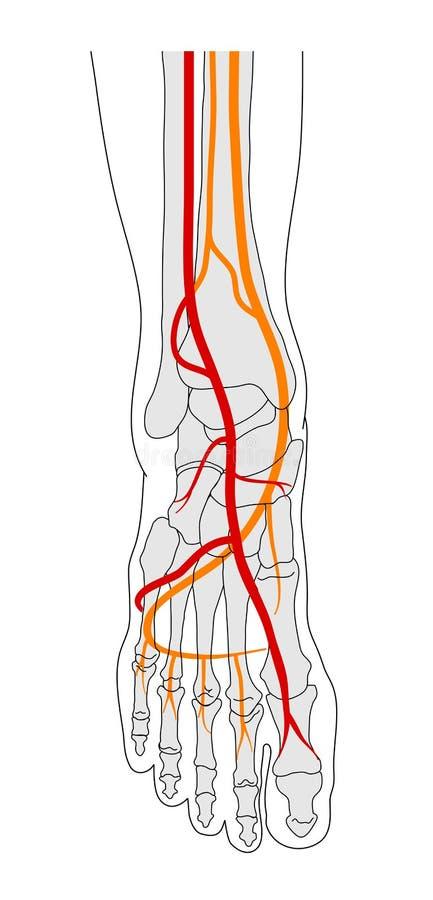 De omloop van de voet vector illustratie