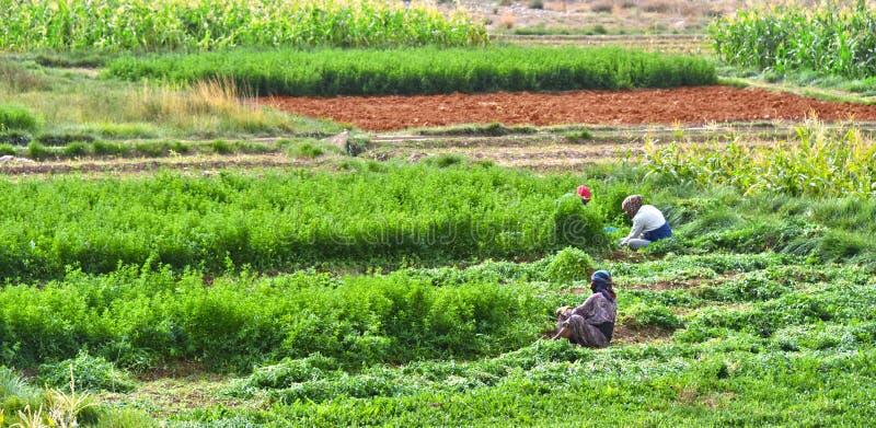 De onafhankelijke arbeid-intensieve landbouw in Marokko royalty-vrije stock afbeelding
