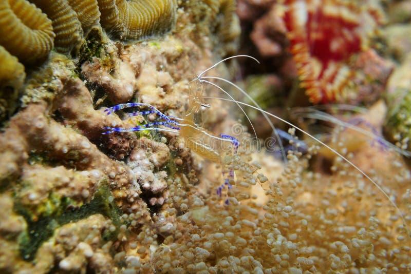 De onderwater mariene schonere garnalen van het levenspederson stock foto's