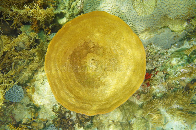 De onderwaterspons Ircinia campana van de het levensklok stock afbeeldingen