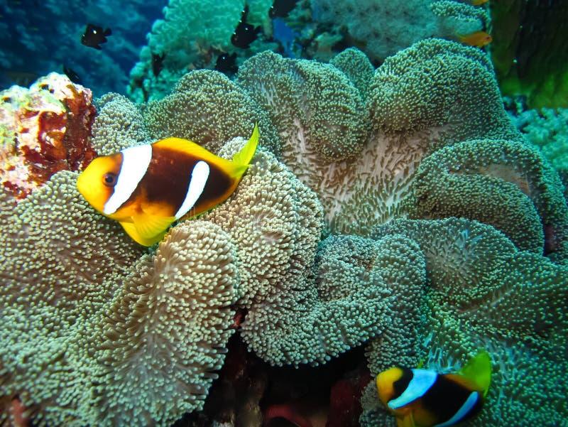 De onderwaterwereld in diep water in koraalrif en installaties bloeit flora in het blauwe wereld mariene wild, de schoonheid van  stock foto