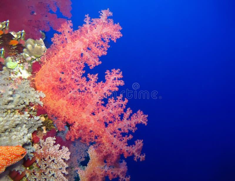De onderwaterwereld in diep water in koraalrif en installaties bloeit flora in het blauwe wereld mariene wild, de schoonheid van  royalty-vrije stock afbeeldingen