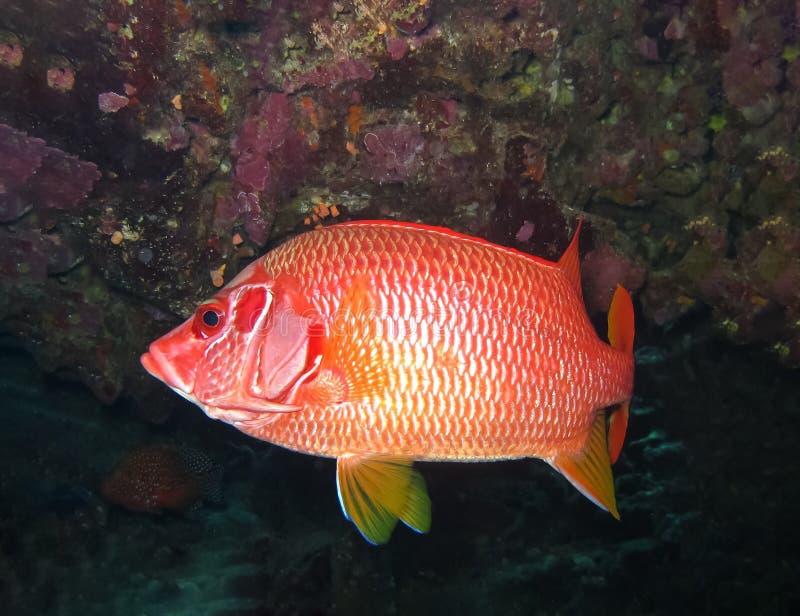 De onderwaterwereld in diep water in koraalrif en installaties bloeit flora in het blauwe wereld mariene wild, de schoonheid van  stock fotografie