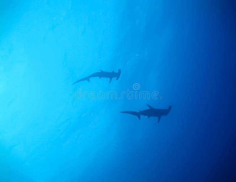 De onderwaterwereld in diep water in koraalrif en installaties bloeit flora in het blauwe wereld mariene wild, de schoonheid van  stock afbeeldingen