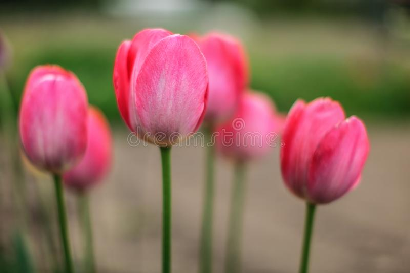 De ondiepe velddieptefoto, slechts één bloemblaadje in nadruk, jonge roze tulpen bloeit Abstracte de lente bloemrijke achtergrond royalty-vrije stock foto's