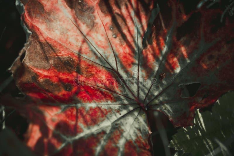 De ongebruikelijke kleur van een installatieblad in een bosopen plek, wordt het helder verlicht door de zon` s stralen royalty-vrije stock afbeeldingen