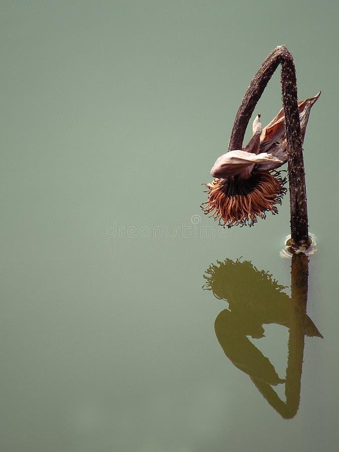 De ongebruikelijke, natuurlijk mooie, droge vijverbloem, die neer naar het water buigen het ontsproot van, in een mooi Thais park royalty-vrije stock foto