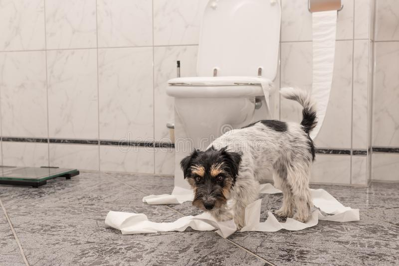 De ongehoorzame honden maken in de flat knoeien Weinig torpedojager Jack Russell Terrier stock foto's