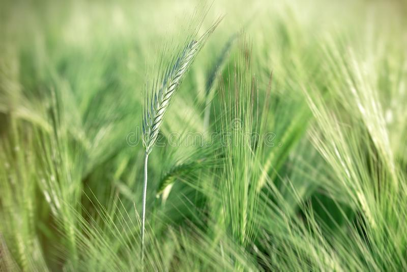 De onrijpe tarwe, wordt de groene goede oogst van het tarwegebied verwacht royalty-vrije stock fotografie