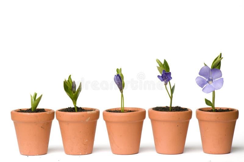 De ontwikkeling van de bloem royalty-vrije stock afbeeldingen