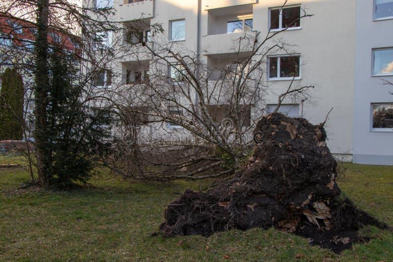 De ontwortelde boom viel op een huis na een ernstig genoemd onweer eberhard stock fotografie
