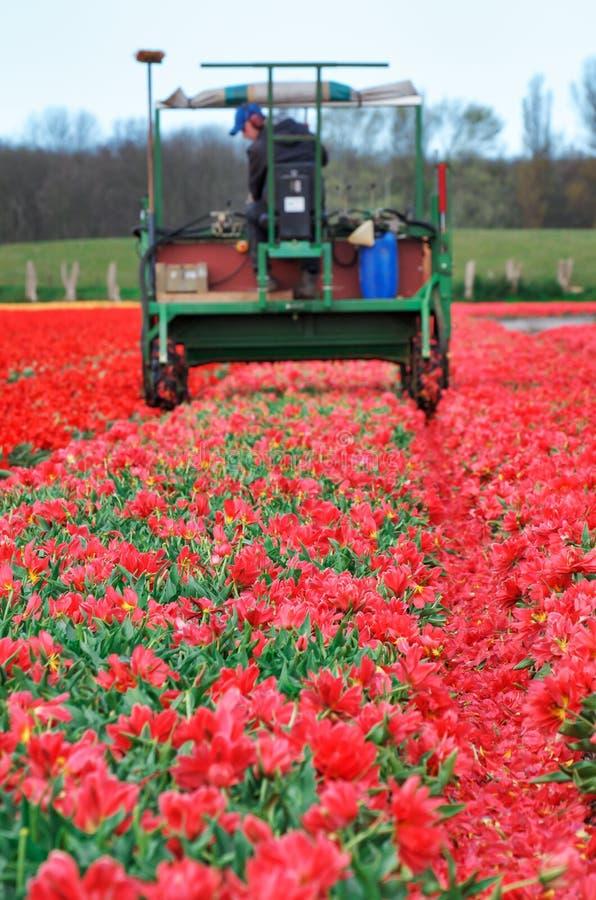 De oogst rode tulpen van de tractor stock afbeeldingen