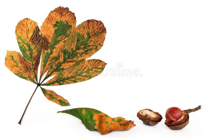 De Oogst van Conker van de herfst stock foto's