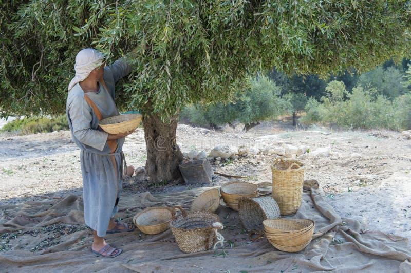 De oogst van de olijf stock fotografie