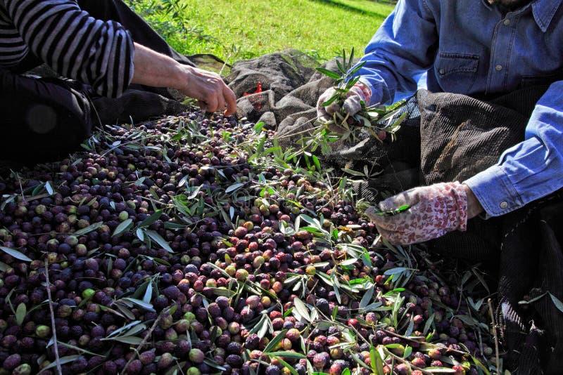 De oogst van de olijf stock foto