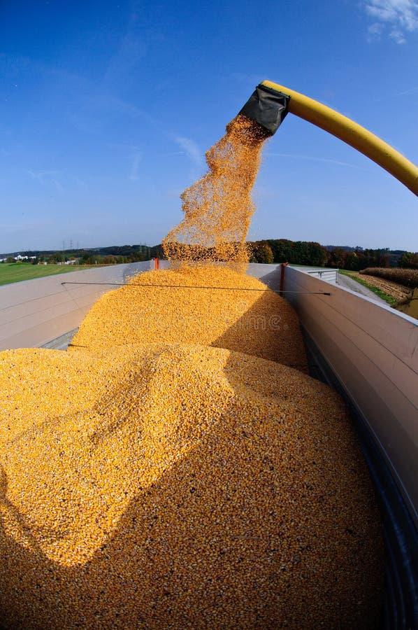 De oogst van het graan stock afbeeldingen