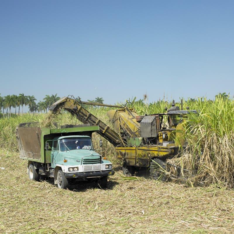 De oogst van het suikerriet stock foto