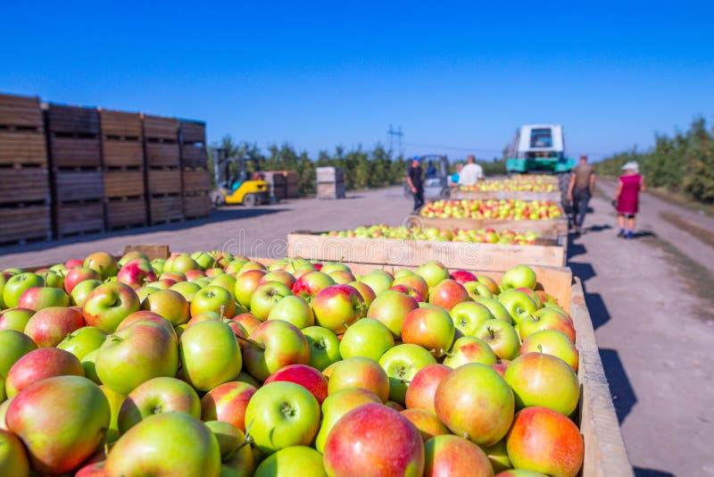 De oogst van verse rijpe rode appelen zocht enkel uit tre bijeen stock afbeeldingen