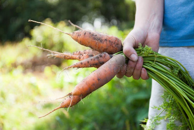 De oogst van de vuilwortel in tuin, grond, natuurlijke landbouw stock foto's