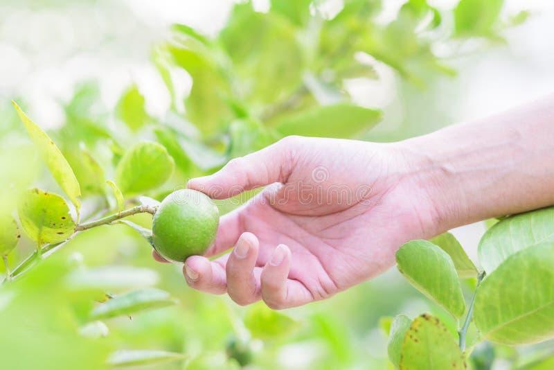 De oogstcitroen van de handlandbouwer van citroenboom royalty-vrije stock fotografie