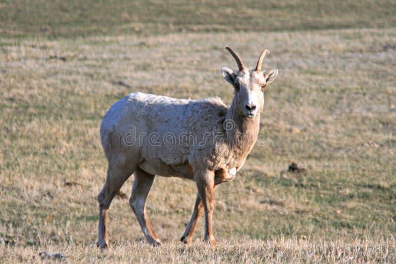 De Ooi van Bighornschapen in Custer State Park in de Zwarte Heuvels van Zuid-Dakota stock afbeeldingen