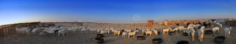 De ooien en de geiten bewerken uit jeddah stock foto