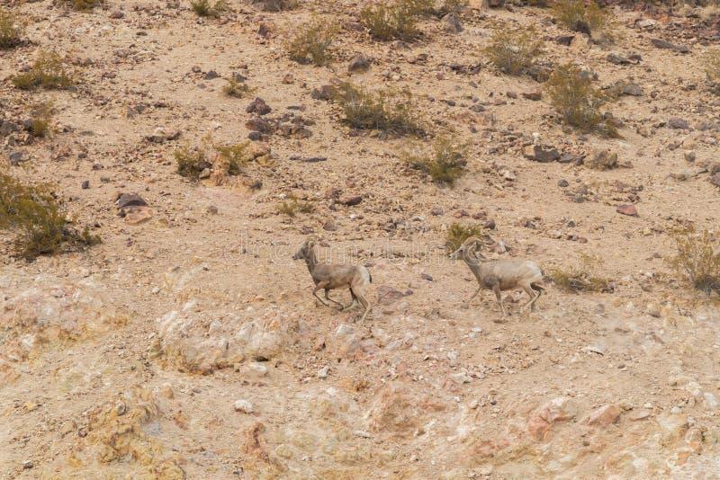 De ooien van woestijn bighorn schapen het lopen royalty-vrije stock foto's
