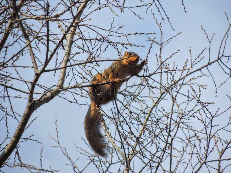 De oostelijke grijze carolinensiszitting die van eekhoornsciurus de lenteknoppen op boomtak en blauwe hemelachtergrond eten, boom stock foto
