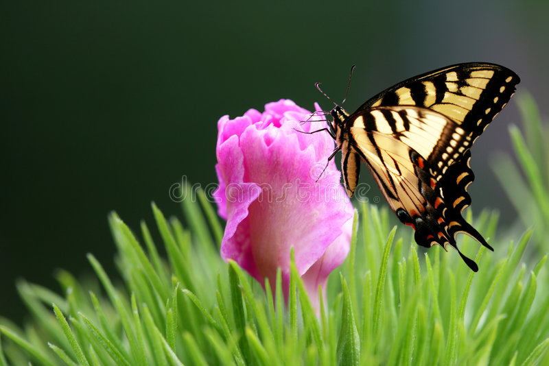 De oostelijke Tijger slikt de Vlinder en Dianthus van de Staart royalty-vrije stock afbeelding