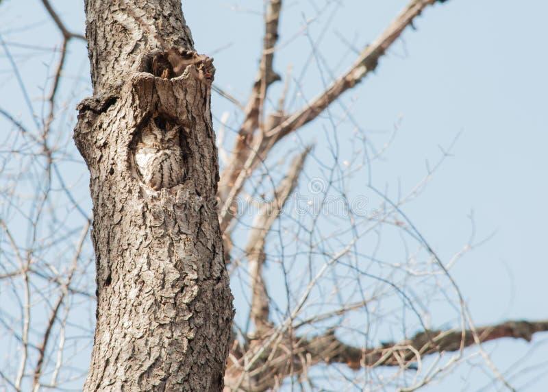 De oostelijke uil van de Doordringende kreet stock afbeeldingen