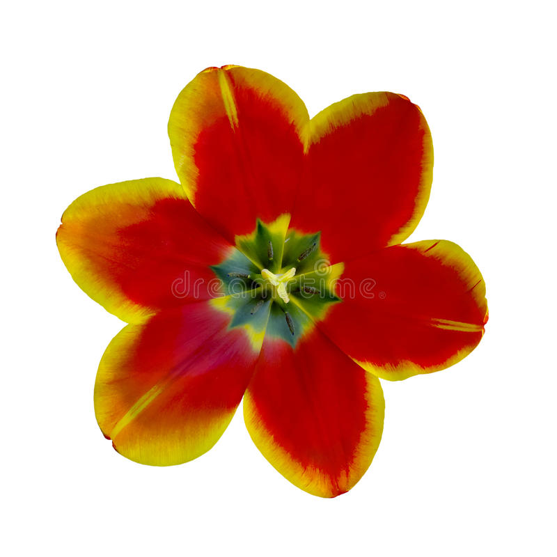 De open close-up van de tulpenbloem royalty-vrije stock fotografie