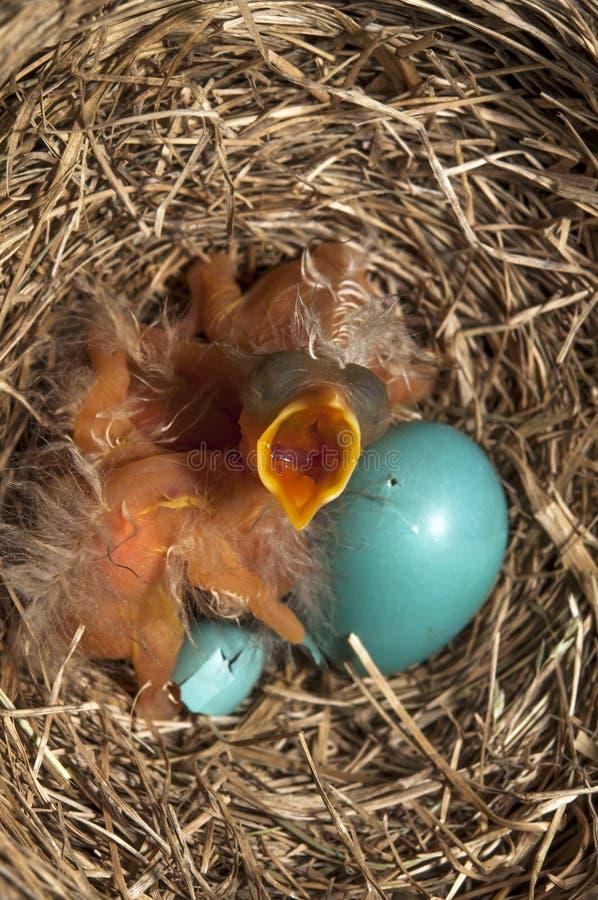 De open mond van babyvogels stock foto