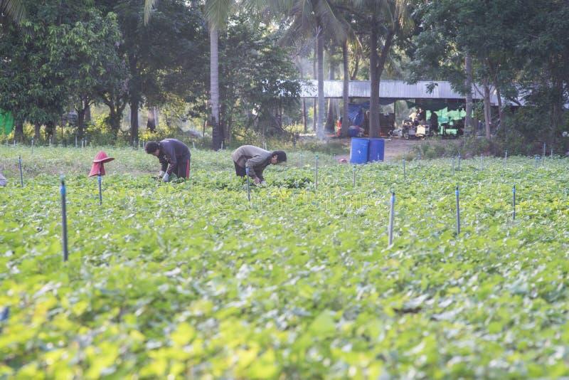 De openluchtfoto van het Thaise lokale landbouwer twee oogsten zoete potatoyams bij sojaboon plant gebied Sojaboongebied stock fotografie