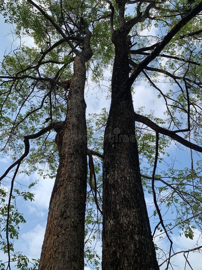 De opgeheven hoek van twee grote bomen betekent samen schaduw royalty-vrije stock afbeeldingen