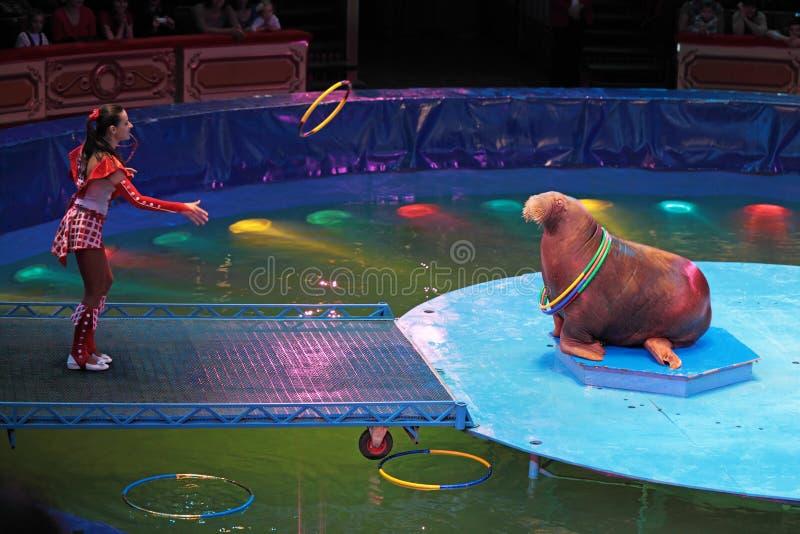 De opgeleide walrussen stock foto