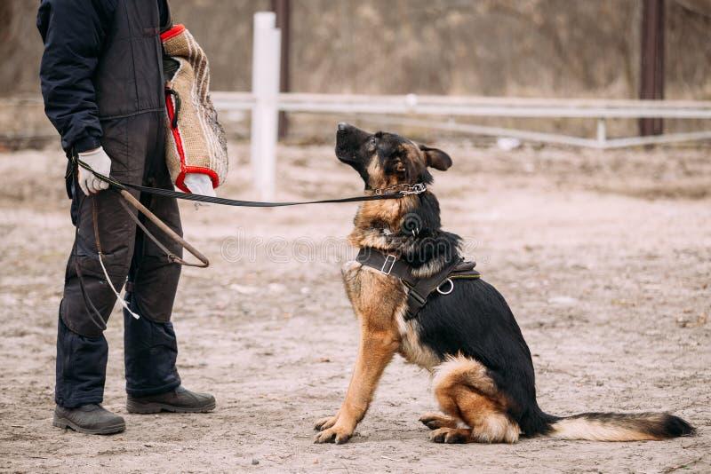 De opleiding van Duitse herderDog Bijtend Elzassisch Wolf Dog stock afbeeldingen
