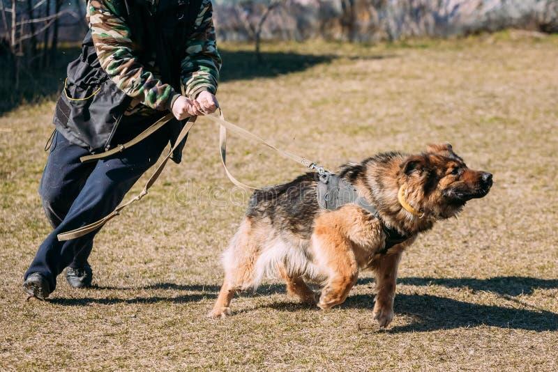 De opleiding van Duitse herderDog Bijtende hond stock foto's