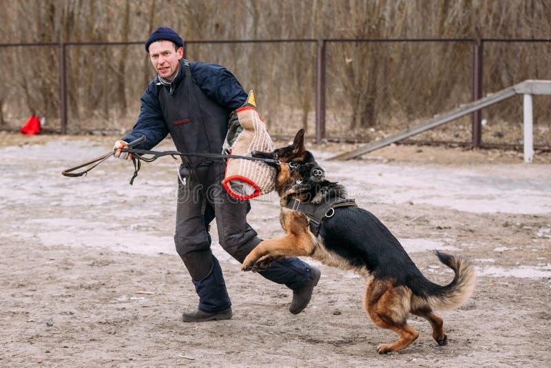 De opleiding van Duitse herderDog Bijtende hond Elzassisch Wolf Dog Deu stock fotografie