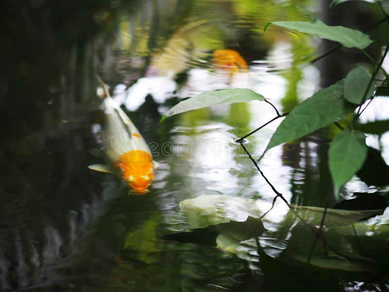 De oppervlakte van de het watervijver van de huistuin met KOI-vissen stock foto's