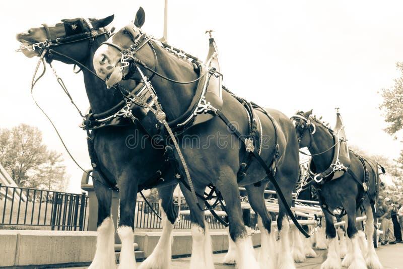 De Opstelling van het Clydesdalepaard royalty-vrije stock fotografie