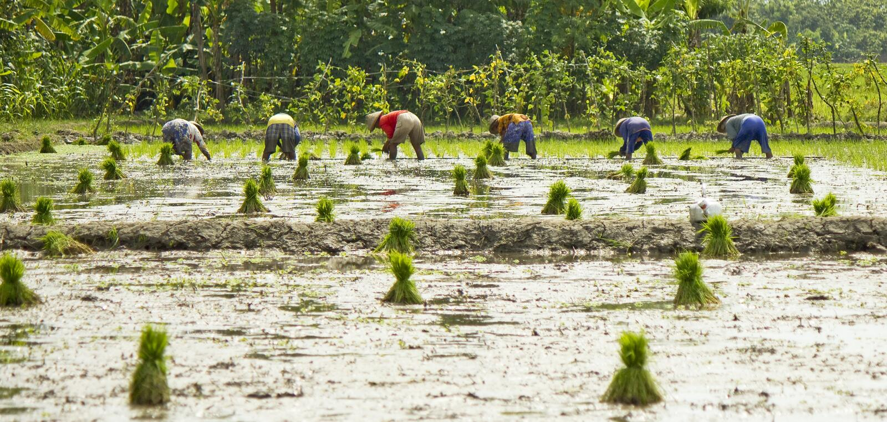 De opstelling van Landbouwers plant Rijst stock foto